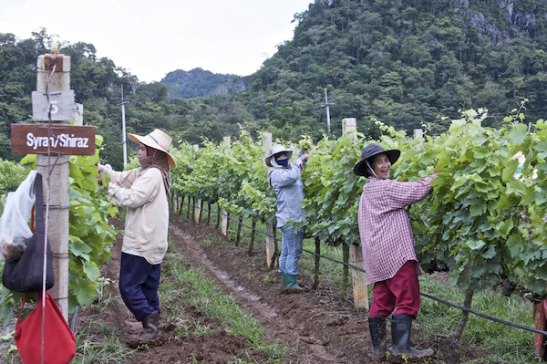 ThailandVineyards